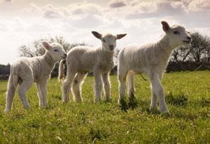 A little lamb - Awww