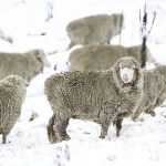 What is merino wool and what are its advantages?